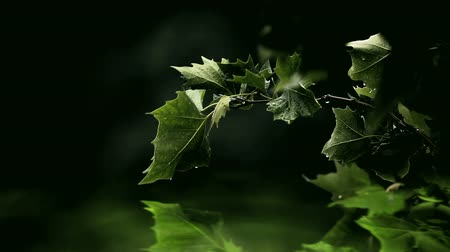 yansıma : Green leaves over glowing water with some raindrops
