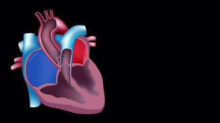 anatomia : Heart blood flow loop