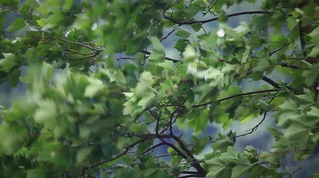 ventoso : Green leaves in the wind Stock Footage