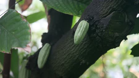meksyk : Chocolate tree (Theobroma cacao)