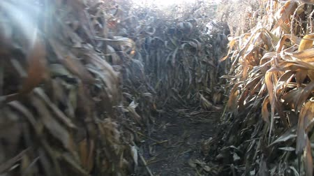 кукуруза : Fast running through a corn stalks maze. As its a sequence, its loopable