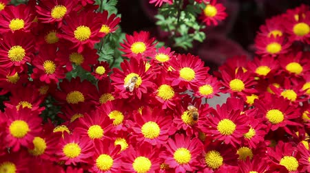 yabanarısı : Bees on red mums