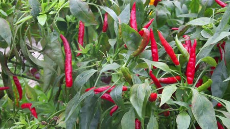 tajlandia : Thai hot chili plant