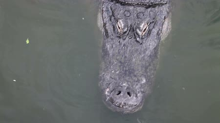 pântano : Alligator swimming in a floridian swamp, its eyes blink as water gets inside