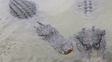 jíst : Hungry Alligator looking at the camera then jumps over another, its eye blinking, floridian swamp