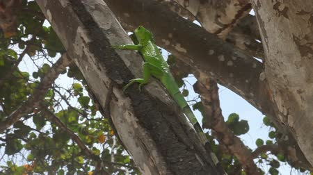 Green iguana climbing on tree at a beach in Aruba