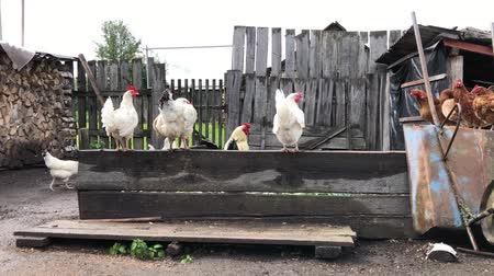 петух : Rooster and chickens feeding in farmyard and walk. Chicken Farm. Стоковые видеозаписи