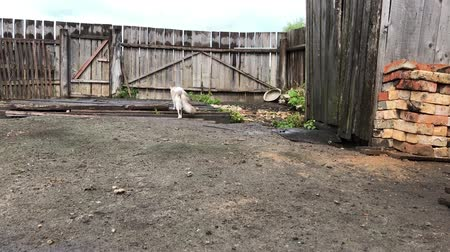 temas animais : white cat with gray spots walking in the yard