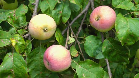 mellow autumn : apple fruit on tree with leaves outdoors Stock Footage