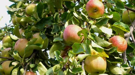 mellow autumn : apple fruit on tree with leaves of summer, sunlight, outdoors