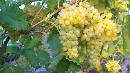 mellow autumn : branch of sultana grapes hanging in vineyard, close up