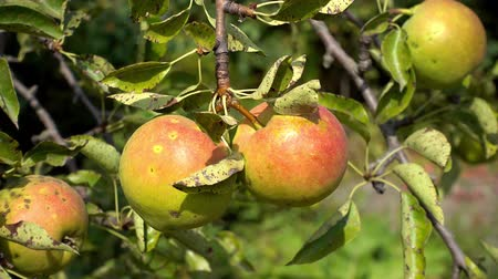 mellow autumn : pears fruit on tree with leaves of summer, sunlight, outdoors