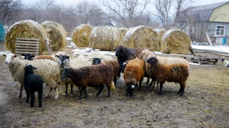 sheepfold : flock of standing Stock Footage