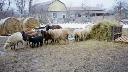 sheepfold : flock of sheep on the farm in snow winter day