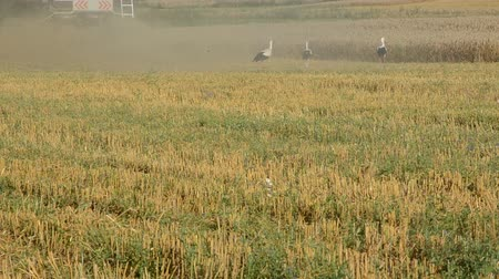 colheita : harvest time and white storks on the field