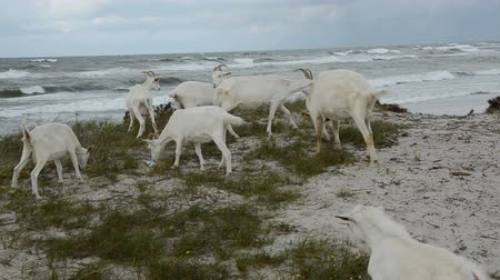dene : white goats on the sea beach in summer end time