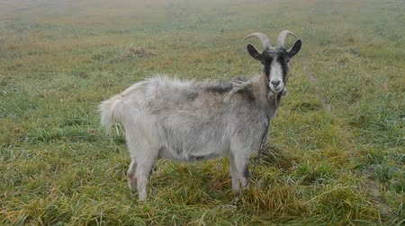 memeli : goat on the autumn field grass Stok Video