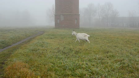 fog : landscape with goat and old tower in mist Stock Footage