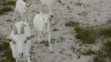 dene : goats group on the sea beach in summer end time