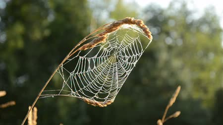 konec : summer end time spider-web in morning light