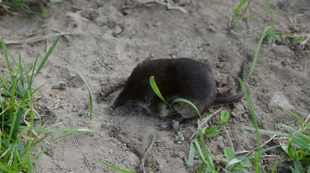 snoot : Animal Common shrew Sorex araneus on summer grass
