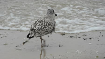 racek : young  seagull on sea beach sand