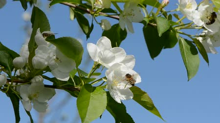 pomar : bee on white apple tree blossoms and wind