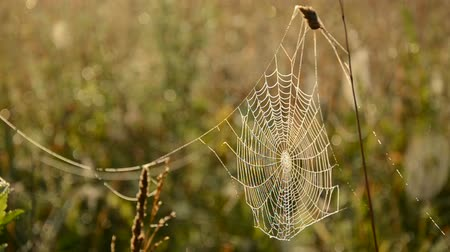 spider web : dewy spider web on autumn grass and wind Stock Footage