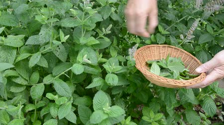 menta : pluck mint fresh medical herbs in summer garden