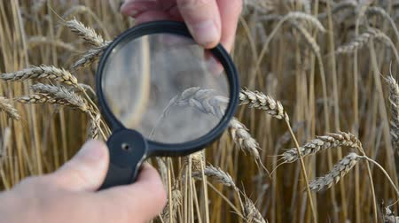 qualidade : agronomist with handglass looking wheat  ears