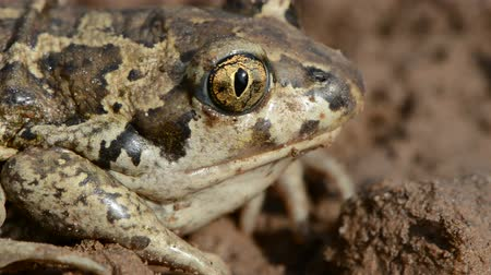 animal protection : animal frog Pelobates fuscus eye and head Stock Footage