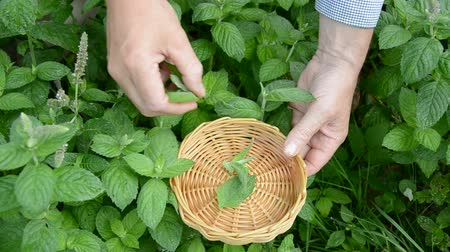 menta : plucking mint fresh medical herbs in summer garden Stock mozgókép