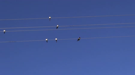 nyel : summer end migratory barn swallows on wire