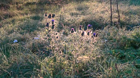 silybum : summer end thistle flowers in morning sunlight Stock Footage