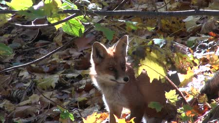 prowl : beautiful mammal fox in autumn colorful forest