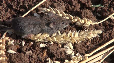 european wood mouse : Bank vole (Clethrionomys glareolus)  on ground with wheat ears Stock Footage