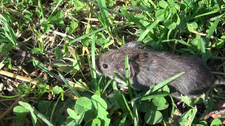 european wood mouse : Bank vole (Clethrionomys glareolus)  on grass