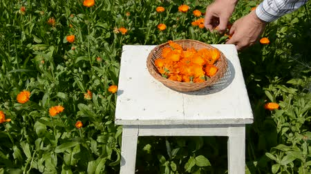 calendula officinalis : harvesting fresh medical herbs calendula (Calendula officinalis) flowers in garden