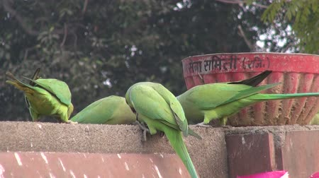 ara papagáj : green parrots on park fence in India Stock mozgókép