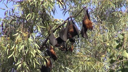 pteropus : flying fox – fruit bats (Megachiroptera) on tree in Amritsar park, India Stock Footage
