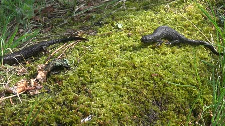 amphibia : two Great Crested Newt (Triturus cristatus) on  spring moss