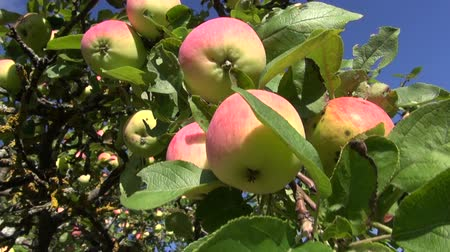 ramos : ripe summer end apple on tree branch in garden