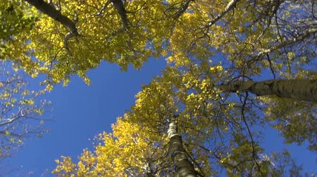 quaking : golden aspen tree in autumn forest and camera rotation Stock Footage