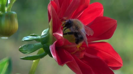 drone : summer end bumblebee – nectar picker on red dahlia flower