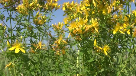 herbal : St Johs wort medical herbs flowers on summer field