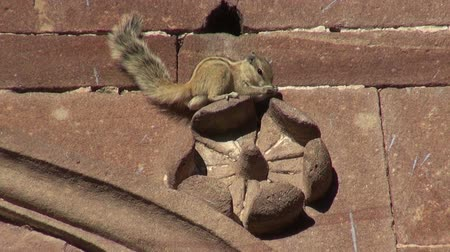 indian squirrel : Indian Palm Squirrel sitting on ornamental house wall, India Stock Footage