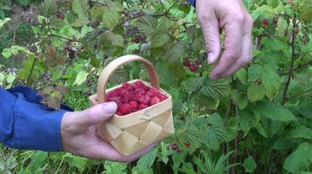 feltörés : gardener in farm picking wild ripe raspberries