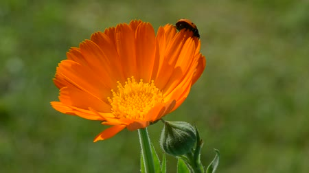 calendula officinalis : beautiful ladybird ladybug on calendula marigold medical flower blossom