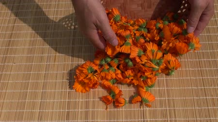 calendula blossoms : fresh medical calendula marigold herb flowers on table for dry Stock Footage