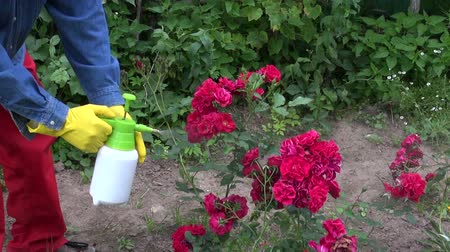 aphidoidea : gardener spraying rose bush buds with insekticide. Greenfly pest protection